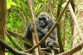 Gorillafrau Iguela und ihr 2014 geborener Sohn Ozavino