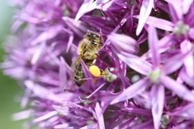 Blütenpflanzen als Nahrungsquelle für Bienen
